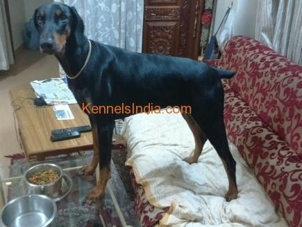 doberman dog breeders in bangalore dating