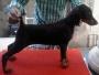 Doberman Female Puppies For Show Homes in Kerala Ernakulam