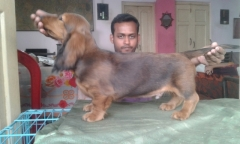 red male long haired dachshund in calcutta