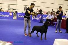Female Rottweiler Puppies For Sale in Uttar Pradesh Deoria