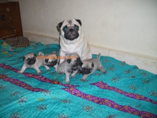 Champion Bloodline Pug Puppies For Sale In Mumbai Pune