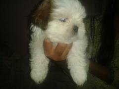 Shihtzu male puppies Available at Bangalore