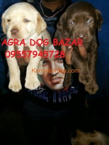 Pure Labrador Puppies for Sale at Agra