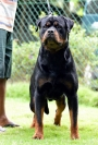 Rottweiler Puppies for sale in Kerala Kozhikode