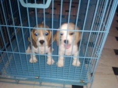Female Beagle puppies for sale at Haryana