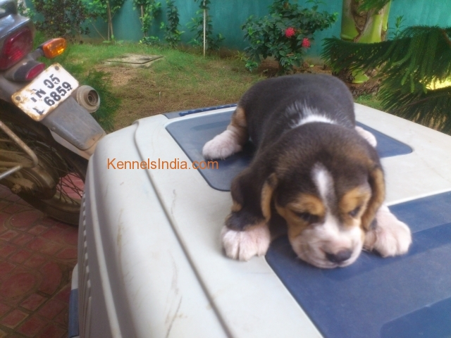 Cutest Show QUALITY Beagle puppy for sale in chennai