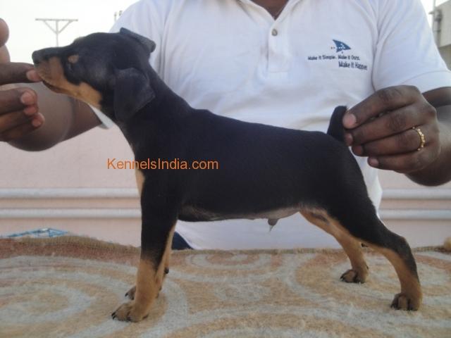 Pinscher Dog Price India