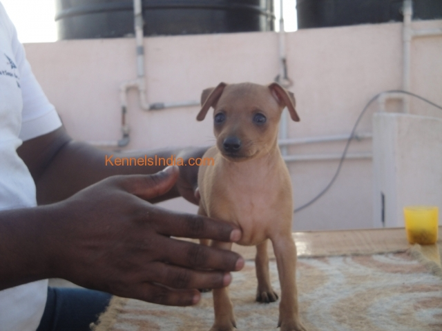 MINPIN PUP FOR SALE WITH KCI PAPER Coimbatore