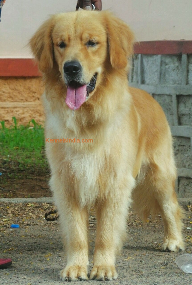 Show Quality Golden Retrevwr For Sale In Hyderabad