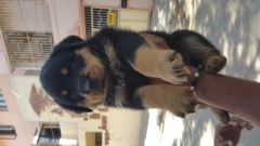 Champion quality Rottweiler puppy for sale in Bangalore Karnataka