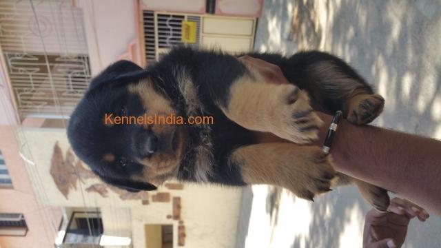 Champion Quality Rottweiler Puppy For Sale In Bangalore Karnataka