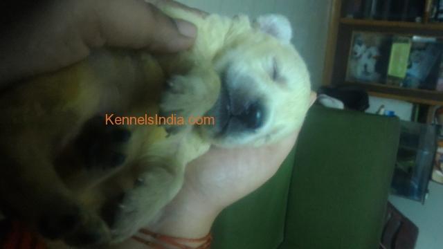 Labrador dog puppys for sale in chennai