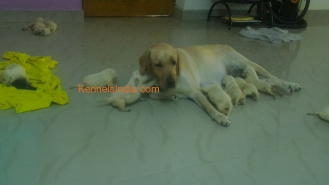 Labrador dog puppys for sale in chennai