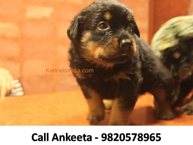 Rottweiler puppy for Sale in mumbai