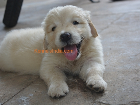 Show Quality Female Golden Retriever Puppies for sale in Mysore