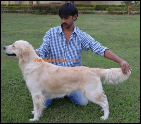 Golden Retriever Puppies for sale in Mysore
