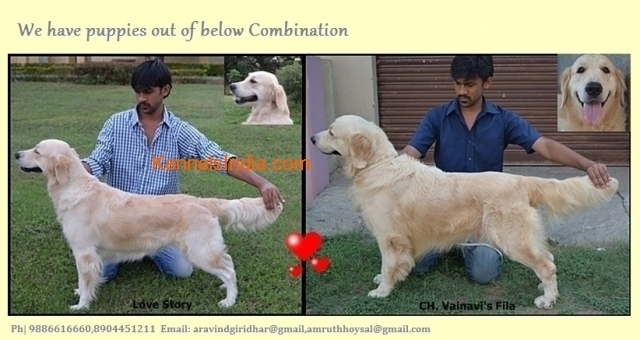 Show Quality Female Golden Retriever