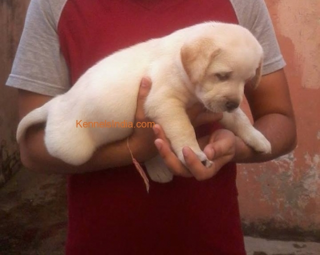 Labrador Puppies Sale In Agra