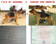 Show quality German Shepherd puppies Father direct German Import