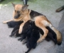 6 female cute GSD puppies for sale in bangalore