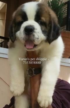 Show prospective saint bernard puppies available in Bangalore
