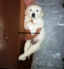 Fluffy coat Golden Retriever puppies available in bangalore