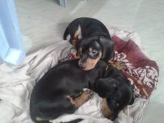 Dachshund puppies for sale in Bangalore Karnataka