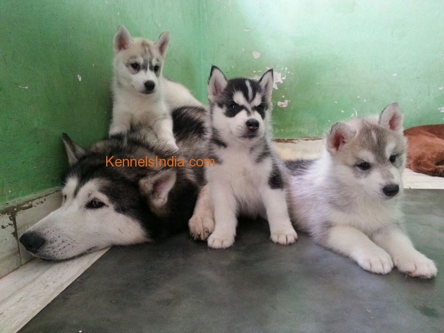 Siberian Husky Puppies For Sale In Bangalore At Lowest Price