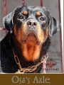 Adult Rottweiler dog