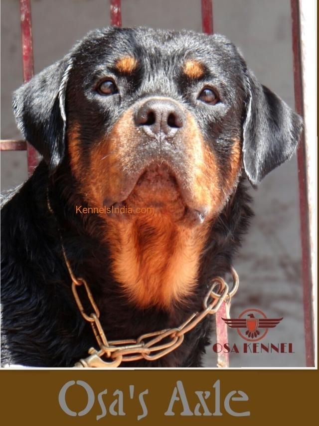Adult Rottweiler dog