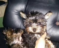 Yorkshire Terrier male pup for sale in Mumbai