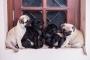 Pug puppies for sale in Ernakulam kerala