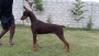 Show quality Doberman puppy for sale in Hassan karnataka