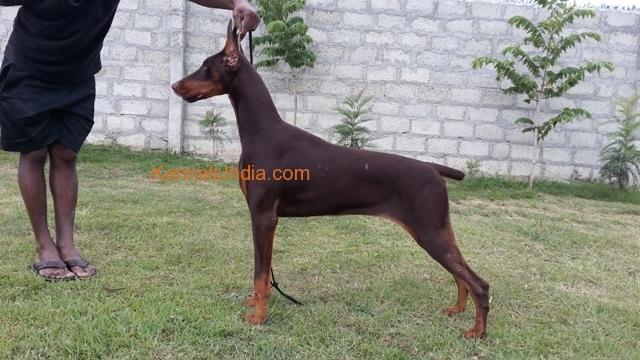 Show quality Doberman puppy for sale in Hassan karnataka
