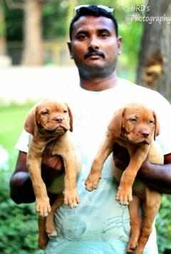 French Mastiff Puppies for sale in Aurangabad Maharashtra