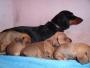 Pupps with bitch ( Black Mini Beauty )