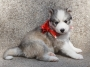 SIBERIAN HUSKY PUPPIES READY FOR SHOW HOMES in Bangalore