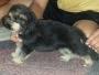 GSD puppies from Jimmy Von and Eros Von Derforstkammer Lineage
