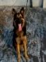 German Shepherd dog for sale in Kochi