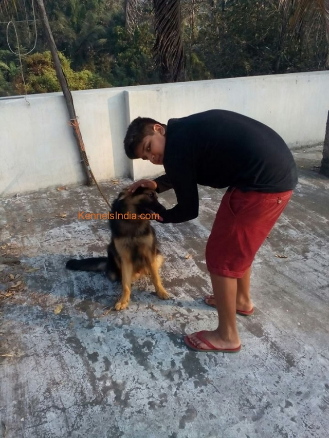 German Shepherd dog for sale in Kochi
