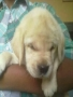 Labrador Puppies for Sale at Agra