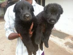 Working German Shepherd puppies for sale