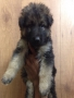 German Shepherd Male Pup for Sale in bangalore