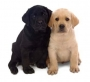 Labrador Retriever Pups or Lab Puppies for sale at Santhome Chennai
