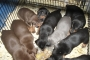 European Type Doberman Puppies available for sale at Thane Mumbai