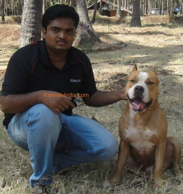 AMERICAN BULLY PUPPIES FOR SALE IN COIMBATORE