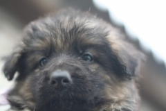 German shepherd Puppies available for sale in Gujarat