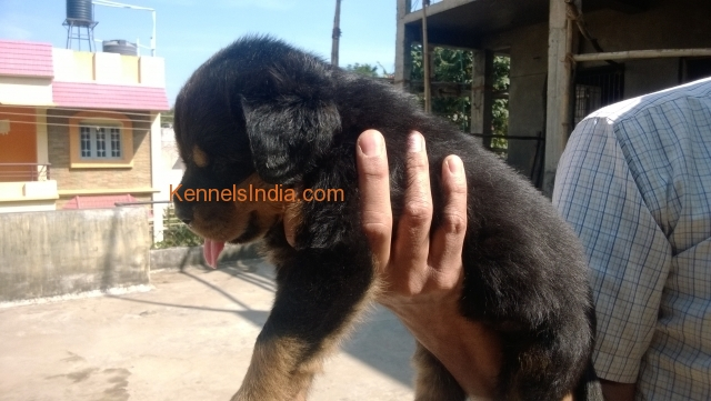 Show Quality Rottweiler Pups For Sale in bangalore