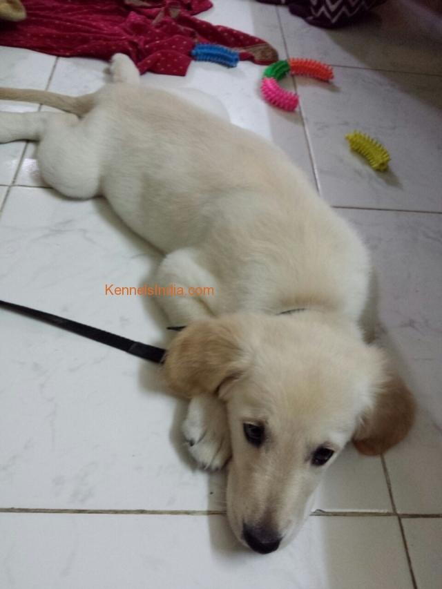 Golden Retriever Puppy For Sale In Mumbai