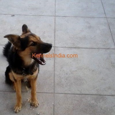 5 Months old GSD puppy for sale at Palladam